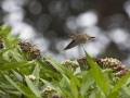 poupel-le-colibri-31-pts