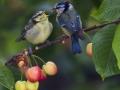 28pts-d-poupel-mesange-bleue