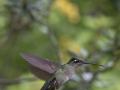 41pts-d-poupel-colibri-en-approche