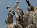 ph-hotz-pelicans-ballestas